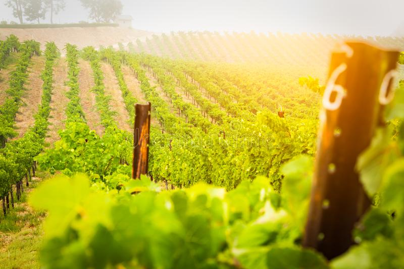 Beautiful Wine Grape Vineyard In The Morning Sun stock images
