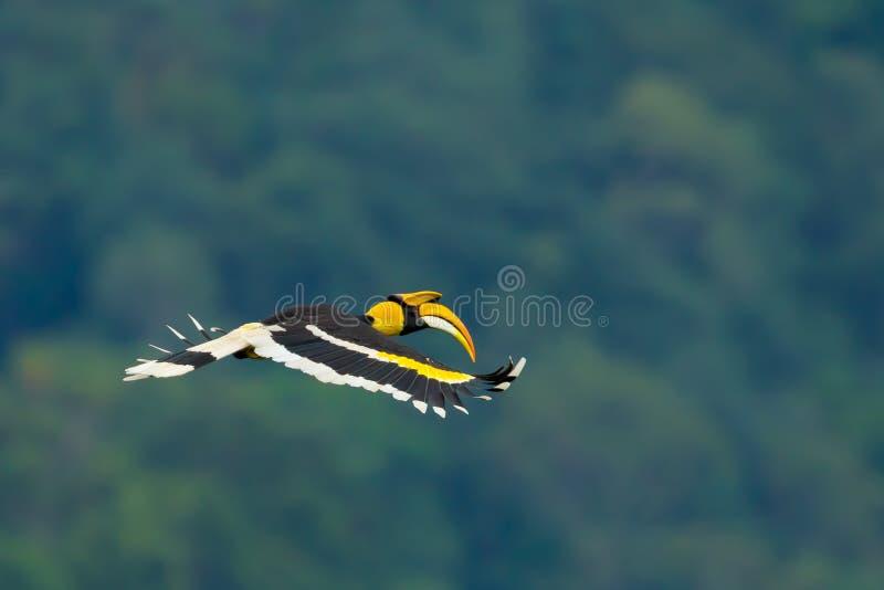 Beautiful wings of Great Hornbill royalty free stock photo