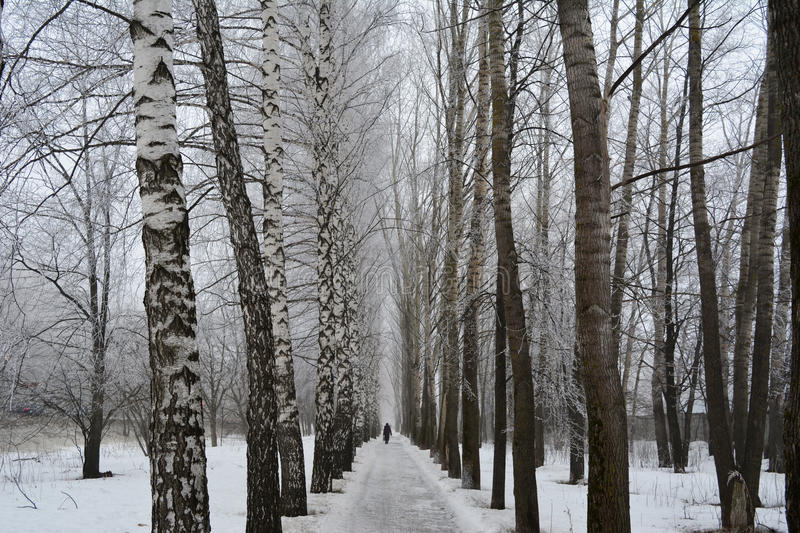 Beautiful winter alley with birchs and poplars stock photo