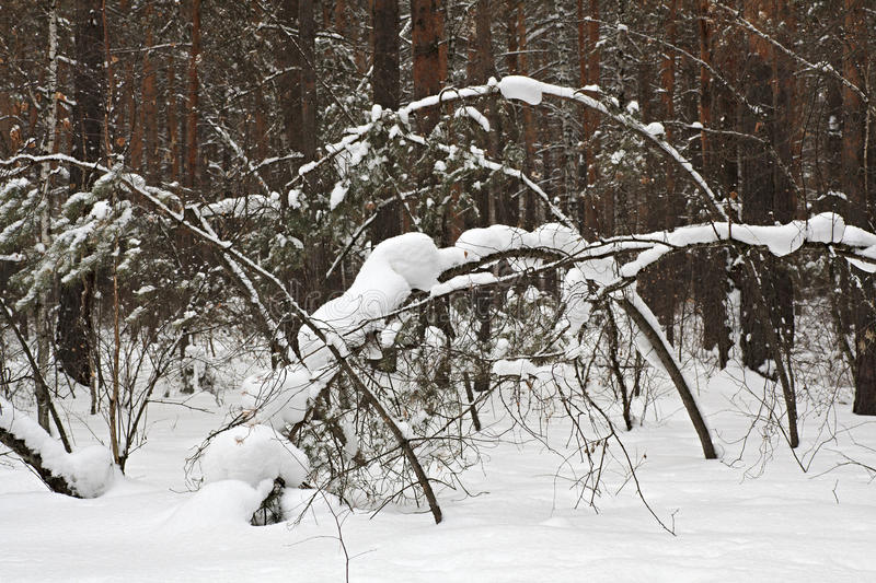 Download Beautiful winter forest stock photo. Image of wood, landscape - 30188026