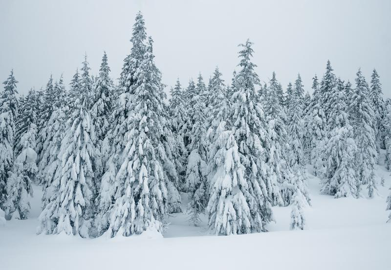 Beautiful winter forest. In Gorgany mountains royalty free stock image