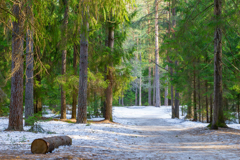Beautiful winter forest landscape. On a sunny day royalty free stock photography