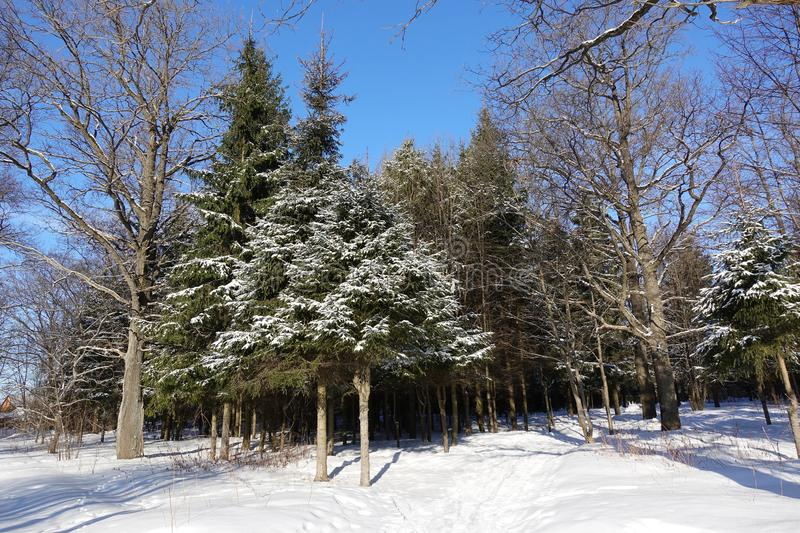 Beautiful winter forest. Pine covered with snow. Mixed forest against the blue sky. Russia royalty free stock images