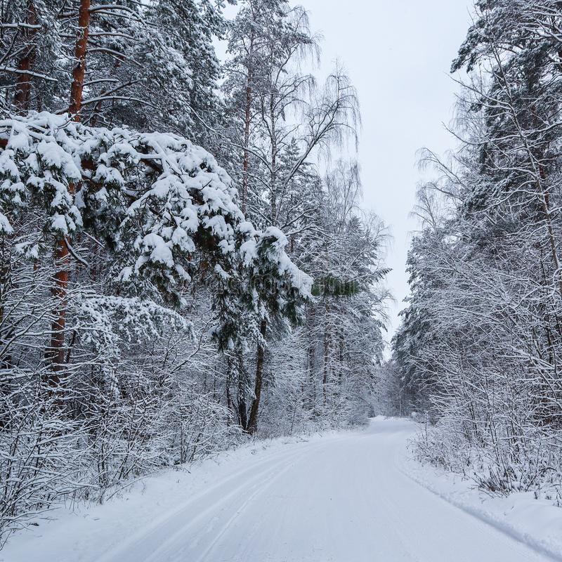 Beautiful winter forest with snowy trees and a white snowy road. Pine branch over the road and many twigs covered with snow stock image