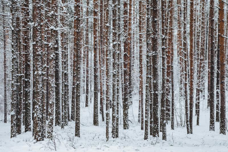 Beautiful winter forest. Trunks of trees covered with snow. Winter landscape. White snows covers ground and trees. Majestic atmosp royalty free stock images