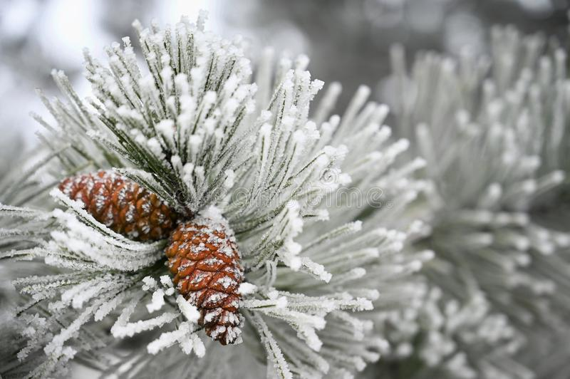 Beautiful winter frost. Branches of pine and cones in nature.  royalty free stock images