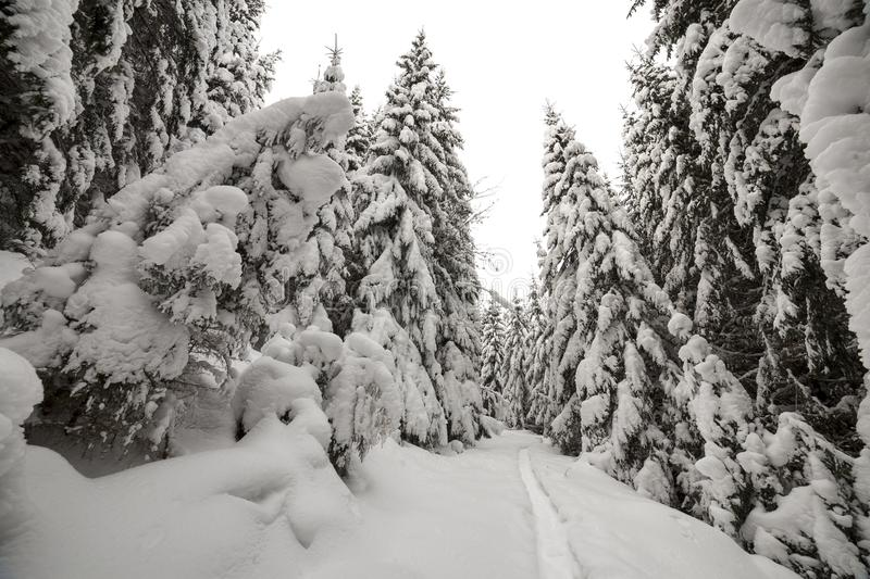 Beautiful winter landscape. Dense mountain forest with tall dark green spruce, path in white clean deep snow on bright frosty royalty free stock photos