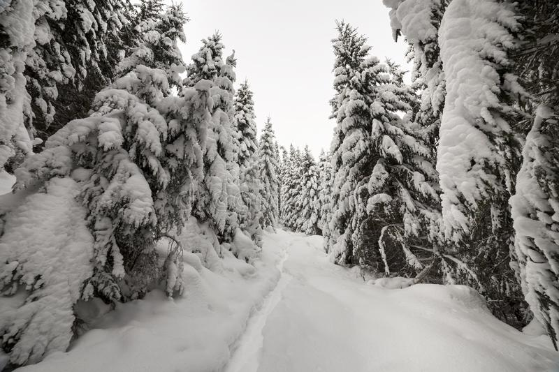 Beautiful winter landscape. Dense mountain forest with tall dark green spruce, path in white clean deep snow on bright frosty. Winter day royalty free stock photo