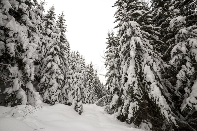 Beautiful winter landscape. Dense mountain forest with tall dark green spruce trees covered with clean deep snow on bright frosty. Winter day stock image