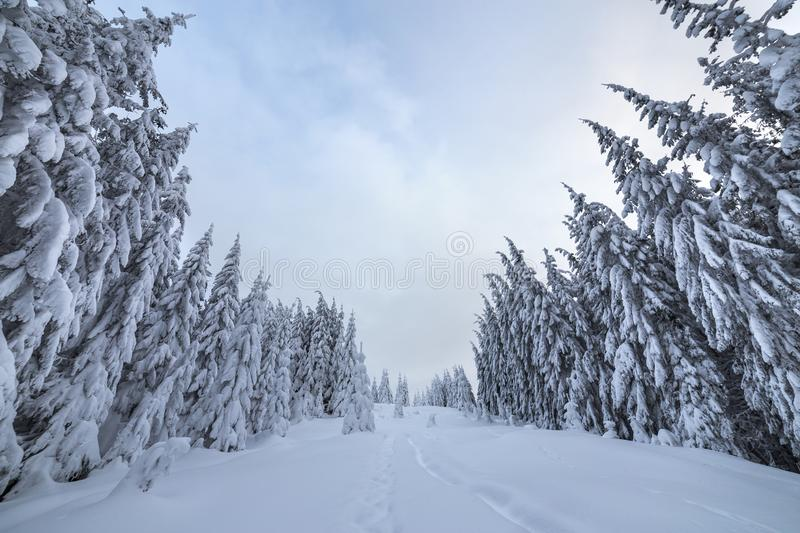 Beautiful winter landscape. Dense mountain forest with tall dark green spruce trees, path in white clean deep snow on bright. Frosty winter day royalty free stock photos