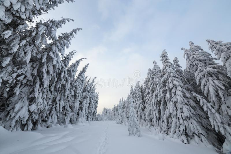 Beautiful winter landscape. Dense mountain forest with tall dark green spruce trees, path in white clean deep snow on bright. Frosty winter day royalty free stock images