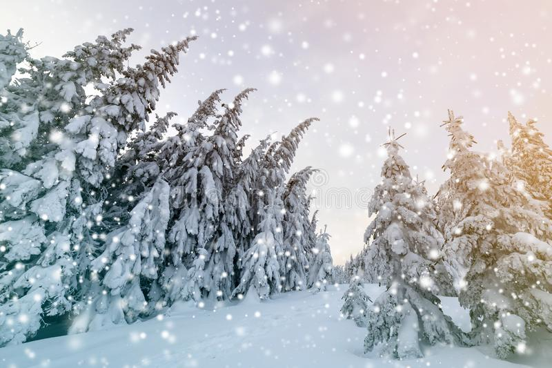 Beautiful winter landscape. Dense mountain forest with tall dark green spruce trees, path in white clean deep snow on bright. Frosty winter day stock photos