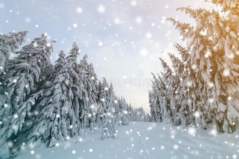 Beautiful winter landscape. Dense mountain forest with tall dark green spruce trees, path in white clean deep snow on bright. Frosty winter day stock photography