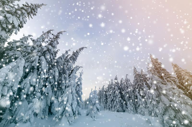 Beautiful winter landscape. Dense mountain forest with tall dark green spruce trees, path in white clean deep snow on bright. Frosty winter day royalty free stock photography