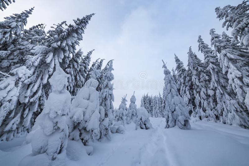 Beautiful winter landscape. Dense mountain forest with tall dark green spruce trees, path in white clean deep snow on bright. Frosty winter day royalty free stock photo
