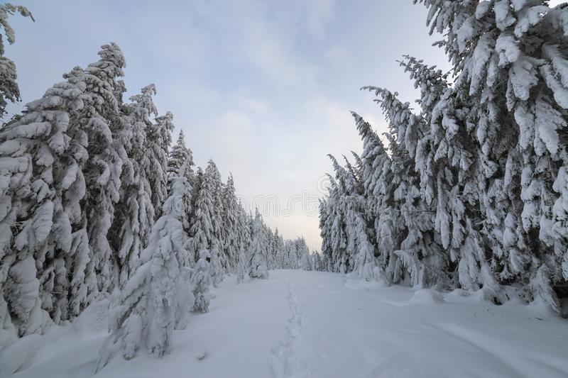 Beautiful winter landscape. Dense mountain forest with tall dark green spruce trees, path in white clean deep snow on bright. Frosty winter day stock photo