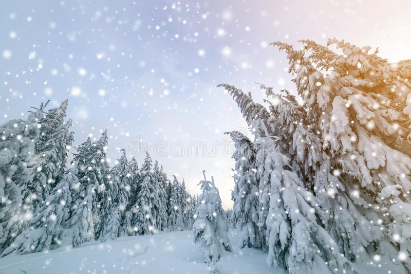 Beautiful winter landscape. Dense mountain forest with tall dark green spruce trees, path in white clean deep snow on bright royalty free stock photography