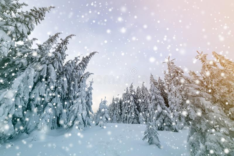 Beautiful winter landscape. Dense mountain forest with tall dark green spruce trees, path in white clean deep snow on bright. Frosty winter day royalty free stock image