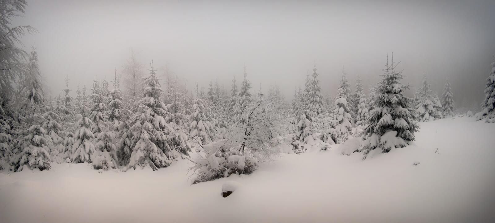 Beautiful winter landscape with fresh snow covered spruce trees. Mountain forest at winter day,fog,relaxing nature. White negative space for text.Can be used as royalty free stock photography