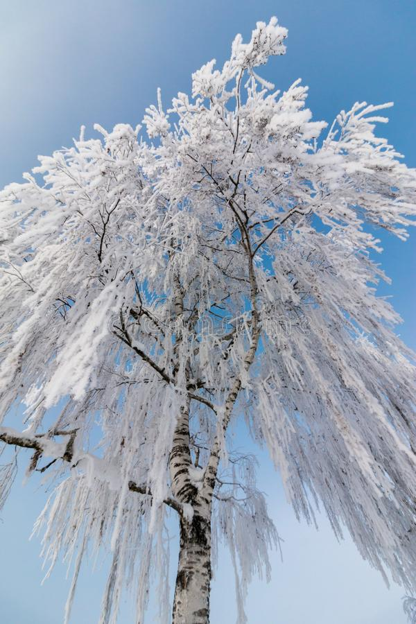 Beautiful winter landscape: Frosty trees in January, Austria. Postcard. Snow and frost covered trees in January. Winter in Austria, frosty, beautiful, landscape royalty free stock images