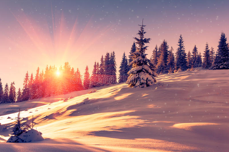 Beautiful winter landscape in mountains. View of snow-covered conifer trees and snowflakes at sunrise. Merry Christmas and happy stock images