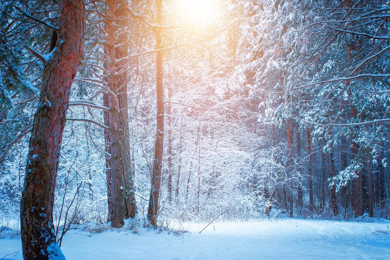 Beautiful winter landscape with snow covered trees in sunny day. royalty free stock photos