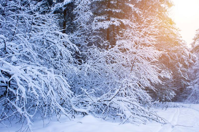 Beautiful winter landscape with snow covered trees in sunny day. royalty free stock images