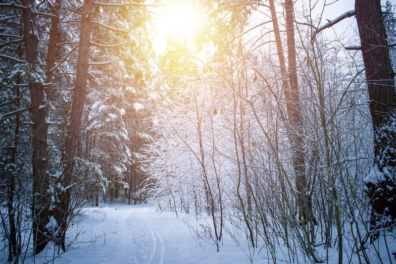 Beautiful winter landscape with snow covered trees in sunny day. royalty free stock photography