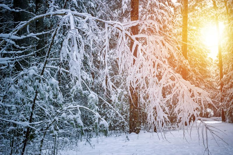 Beautiful winter landscape with snow covered trees in sunny day stock photos