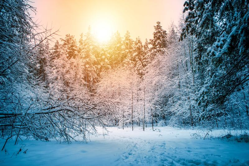 Beautiful winter landscape with snow covered trees in sunny day. royalty free stock photo