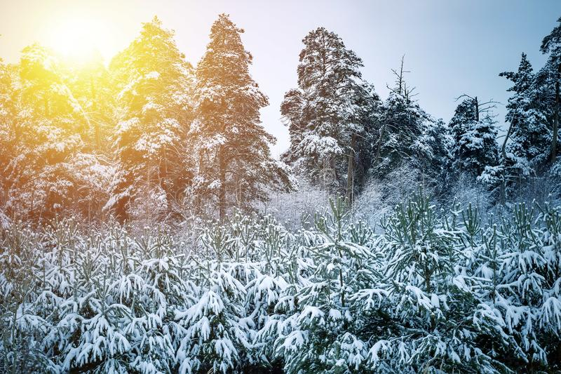 Beautiful winter landscape with snow covered trees in sunny day stock images