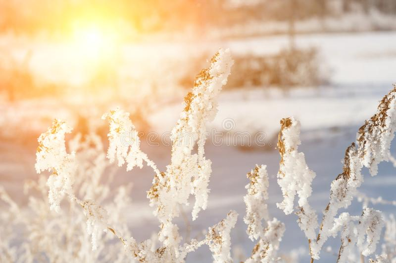 beautiful winter landscape with snow plant, trees and sunrise. winterly morning of a new day. purple winter landscape with sunset royalty free stock images