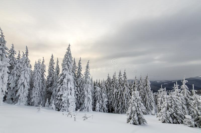 Beautiful winter mountain landscape. Tall dark green spruce trees covered with snow on mountain peaks and cloudy sky background.  stock photography