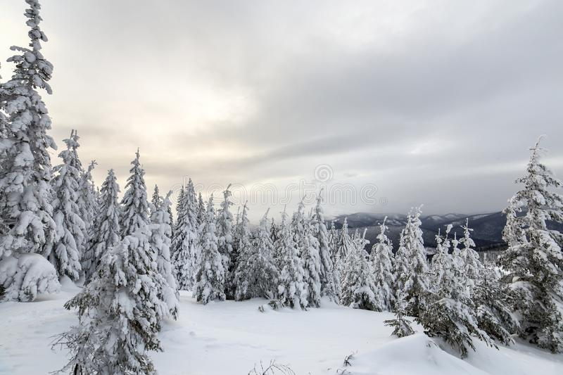 Beautiful winter mountain landscape. Tall dark green spruce trees covered with snow on mountain peaks and cloudy sky background.  stock images