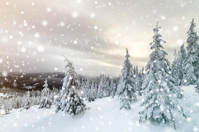 Beautiful winter mountain landscape. Tall dark green spruce trees covered with snow on mountain peaks and cloudy sky background.  royalty free stock photography