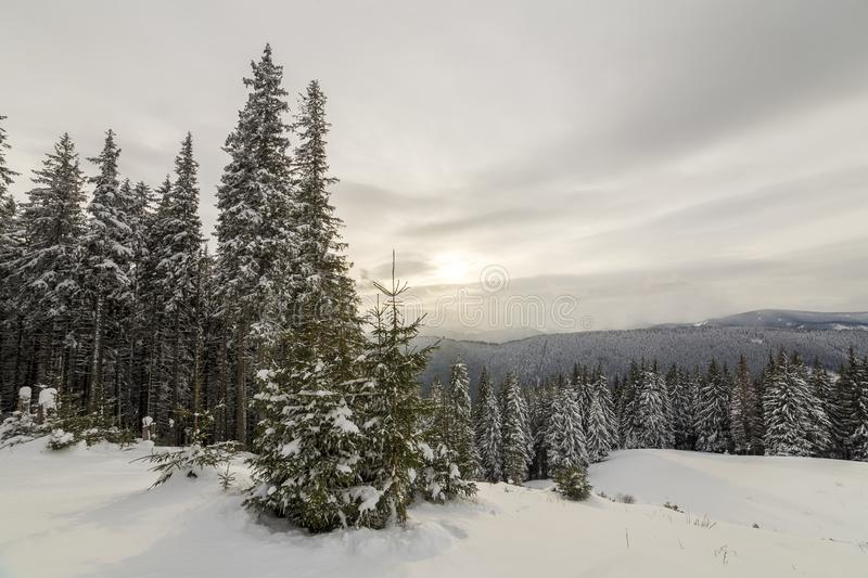Beautiful winter mountain landscape. Tall dark green spruce trees covered with snow on mountain peaks and cloudy sky background.  stock photos