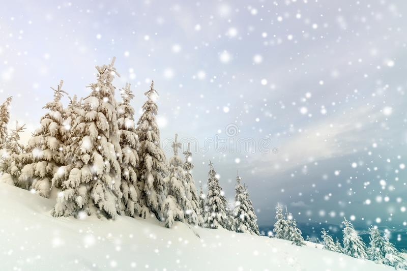 Beautiful winter mountain landscape. Tall dark green spruce trees covered with snow on mountain peaks and cloudy sky background.  stock photo