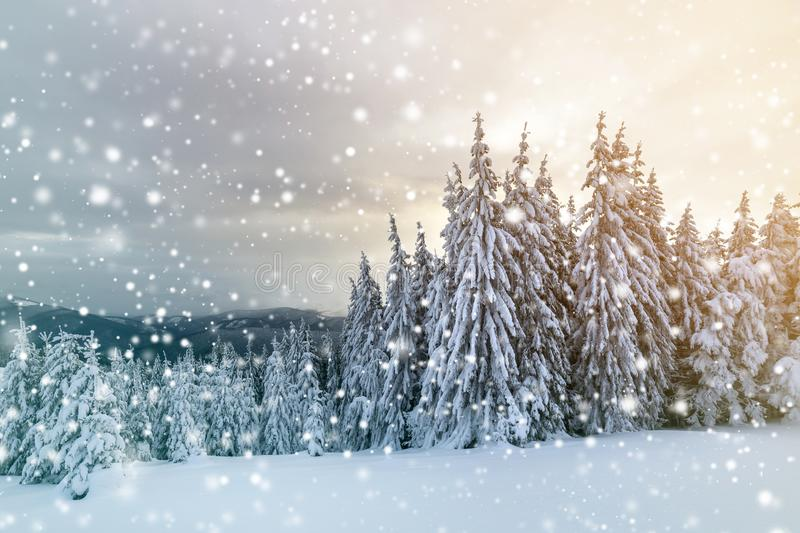 Beautiful winter mountain landscape. Tall dark green spruce trees covered with snow on mountain peaks and cloudy sky background stock photo