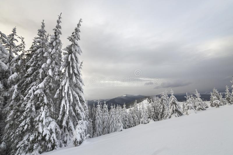 Beautiful winter mountain landscape. Tall dark green spruce trees covered with snow on mountain peaks and cloudy sky background.  royalty free stock photo