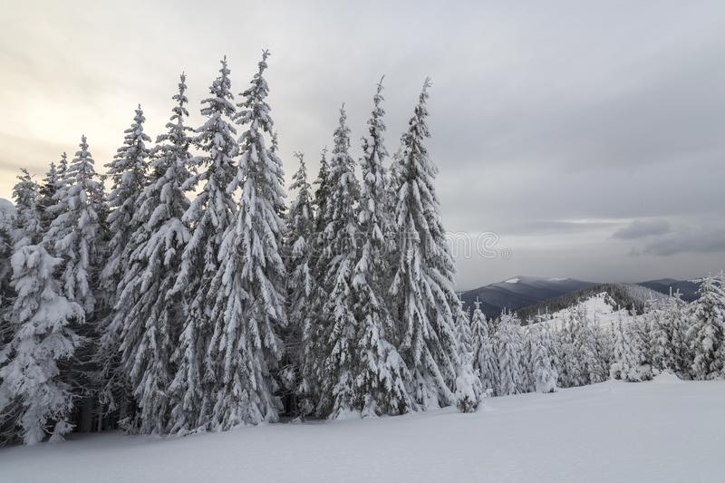 Beautiful winter mountain landscape. Tall dark green spruce trees covered with snow on mountain peaks and cloudy sky background.  royalty free stock photos