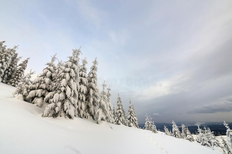 Beautiful winter mountain landscape. Tall dark green spruce trees covered with snow on mountain peaks and cloudy sky background stock images