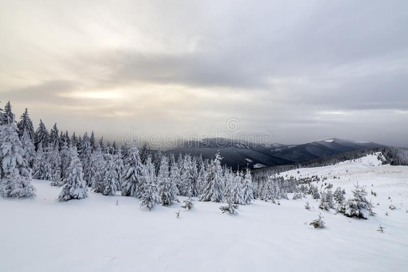 Beautiful winter mountain landscape. Tall dark green spruce trees covered with snow on mountain peaks and cloudy sky background.  stock image
