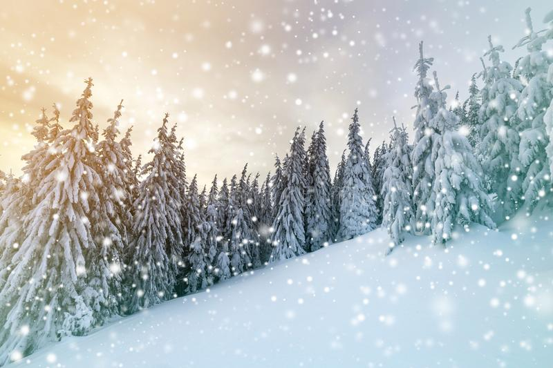 Beautiful winter mountain landscape. Tall dark green spruce trees covered with snow on mountain peaks and cloudy sky background royalty free stock photo