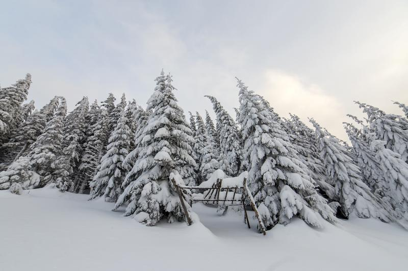 Beautiful winter mountain landscape. Tall spruce trees covered with snow in winter forest and cloudy sky background.  stock images