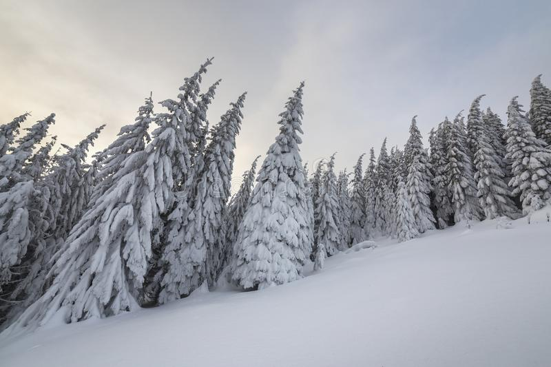 Beautiful winter mountain landscape. Tall spruce trees covered with snow in winter forest and cloudy sky background.  royalty free stock photo