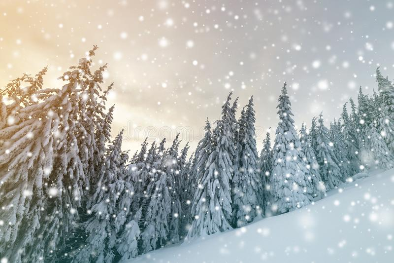 Beautiful winter mountain landscape. Tall spruce trees covered with snow in winter forest and cloudy sky background.  royalty free stock photos