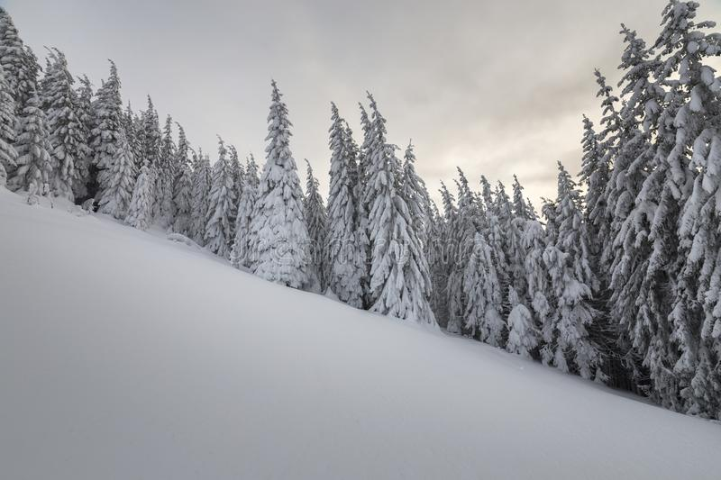 Beautiful winter mountain landscape. Tall spruce trees covered with snow in winter forest and cloudy sky background.  stock photos