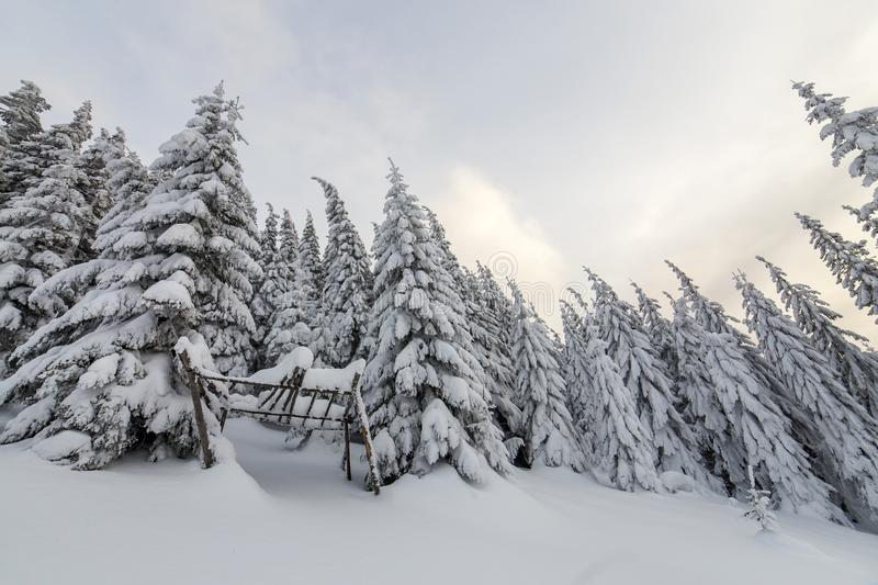 Beautiful winter mountain landscape. Tall spruce trees covered with snow in winter forest and cloudy sky background.  stock photography