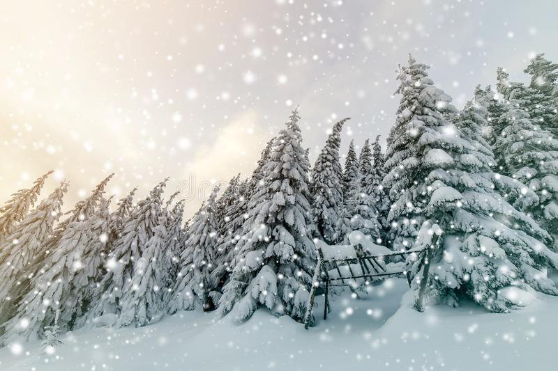 Beautiful winter mountain landscape. Tall spruce trees covered with snow in winter forest and cloudy sky background.  royalty free stock photography