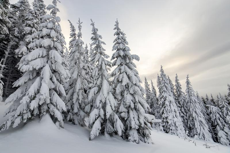 Beautiful winter mountain landscape. Tall spruce trees covered with snow in winter forest and cloudy sky background.  stock image